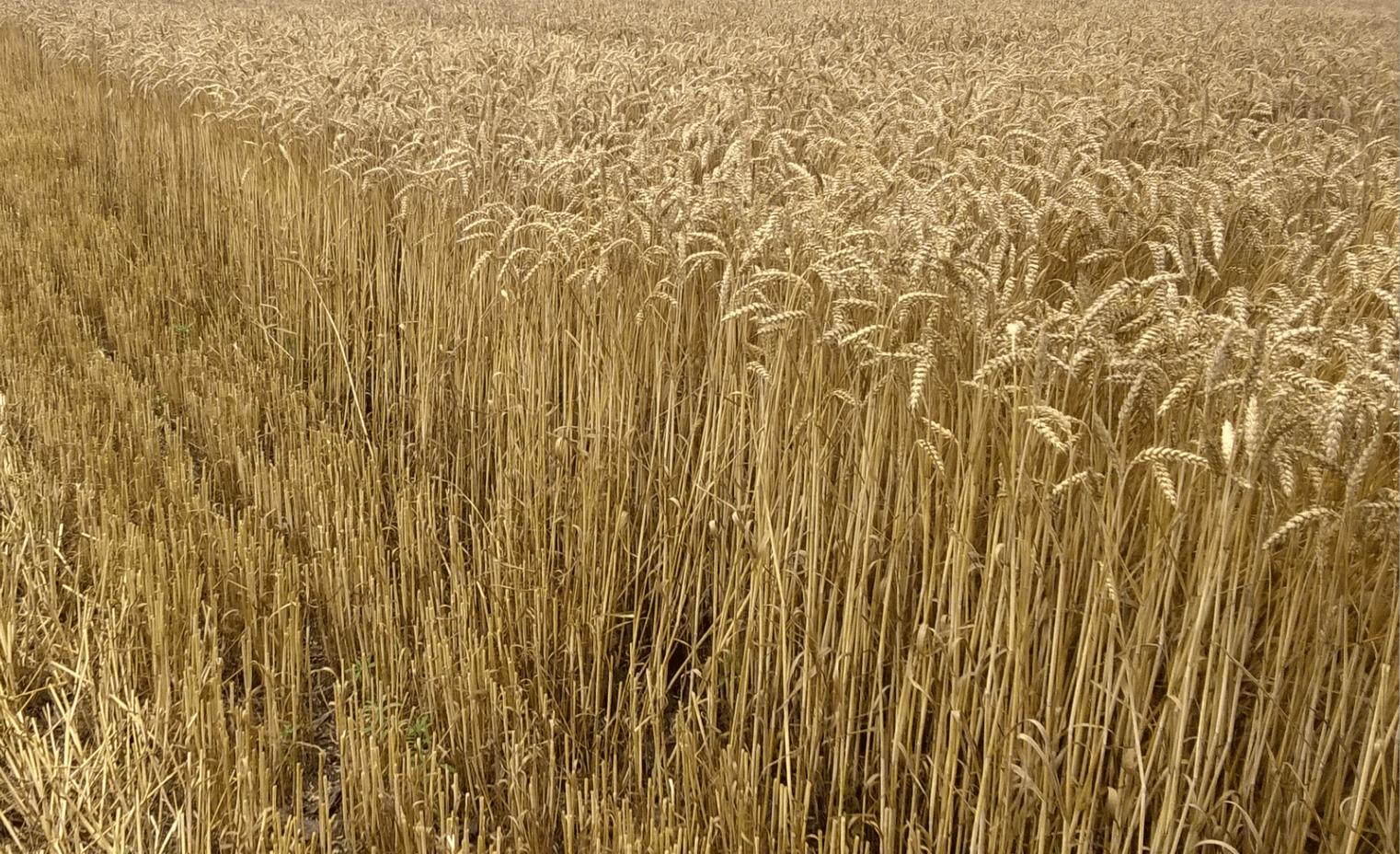 ДЕМЕТРА и МАУ 8462 - български сорта пшеница