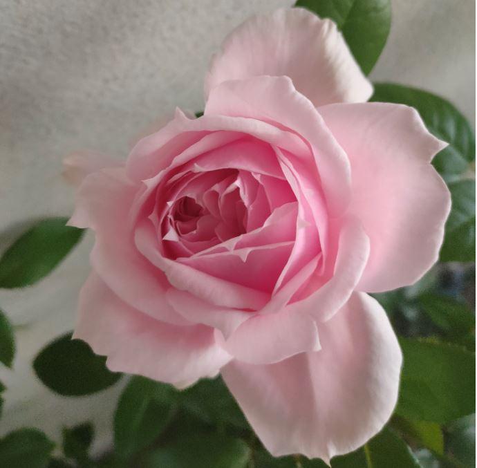 Съдбата на розата